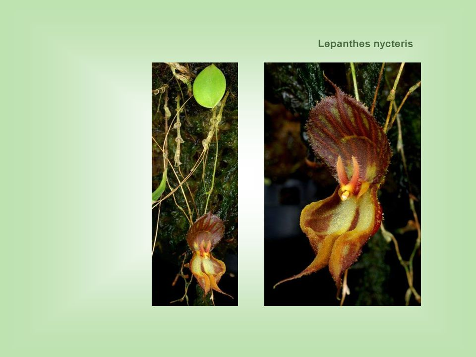 Lepanthes nycteris