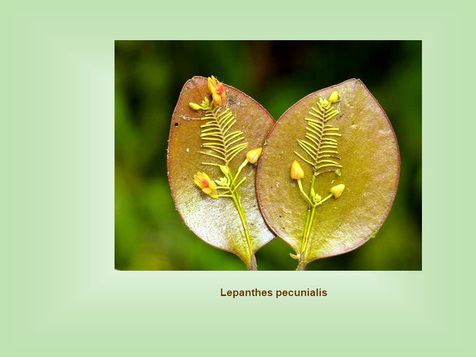 Lepanthes pecunialis