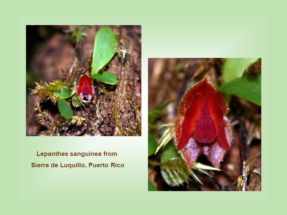Lepanthes sanguinea from Sierra de Luquillo, Puerto Rico