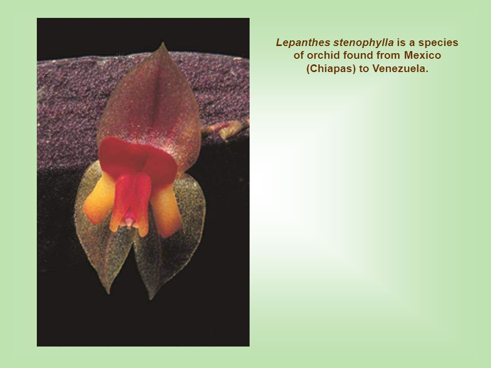 Lepanthes stenophylla is a species of orchid found from Mexico (Chiapas) to Venezuela.