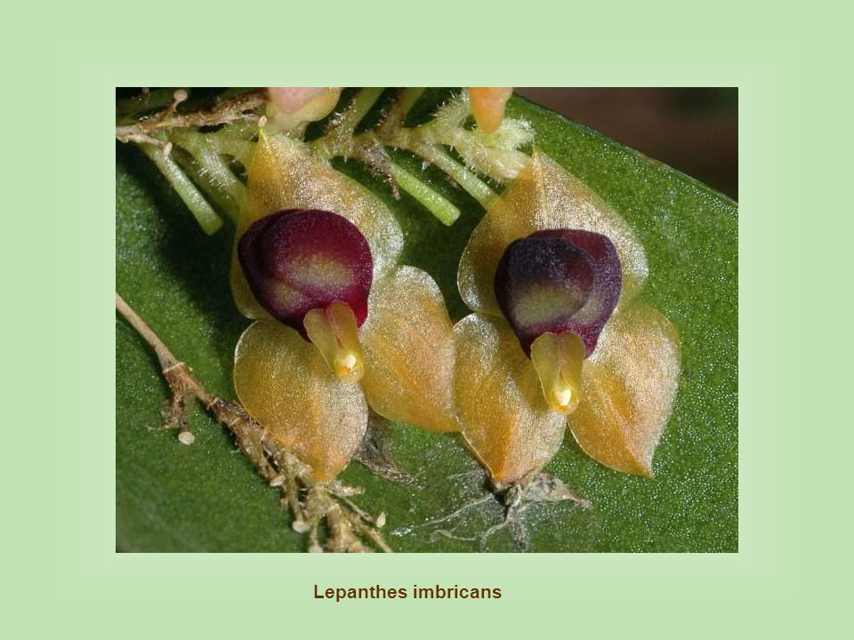 Lepanthes imbricans