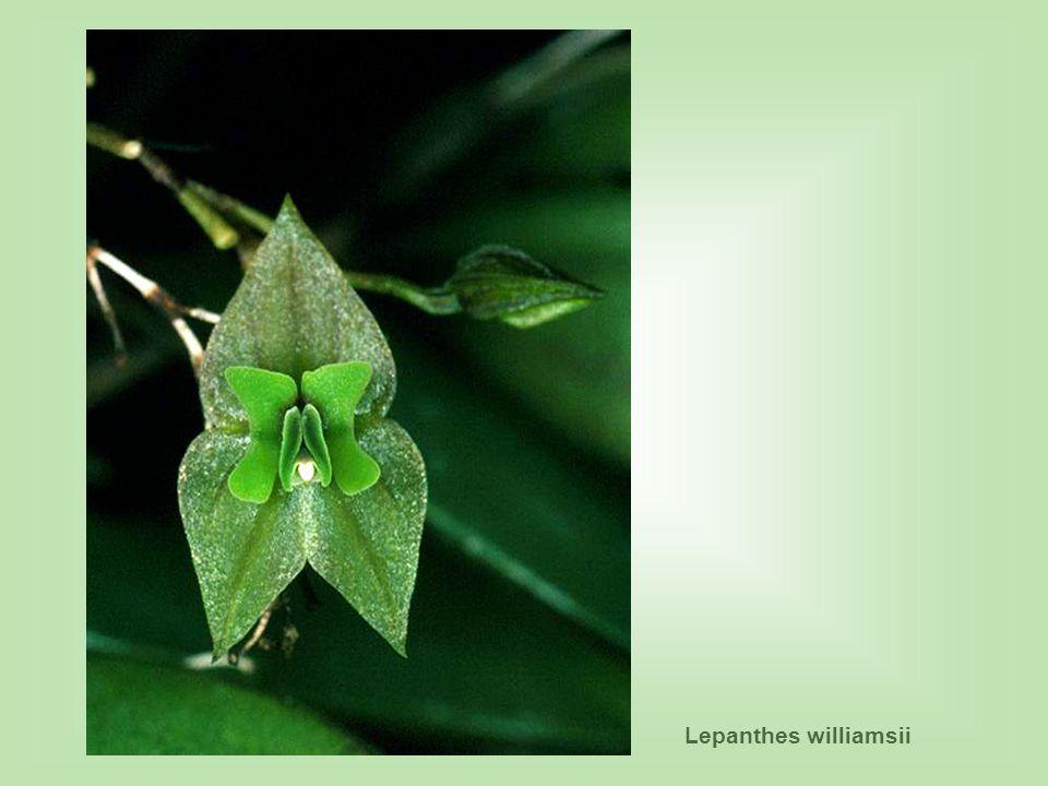Lepanthes williamsii