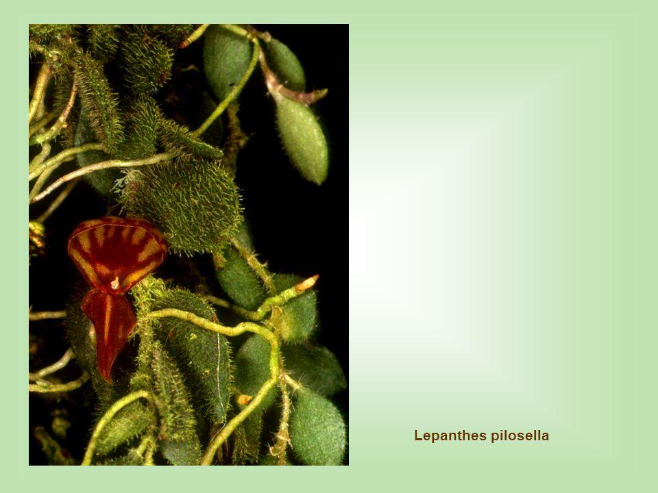 Lepanthes pilosella