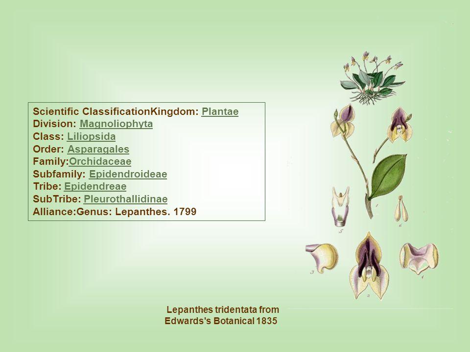 Lepanthes tridentata from Edwards s Botanical 1835