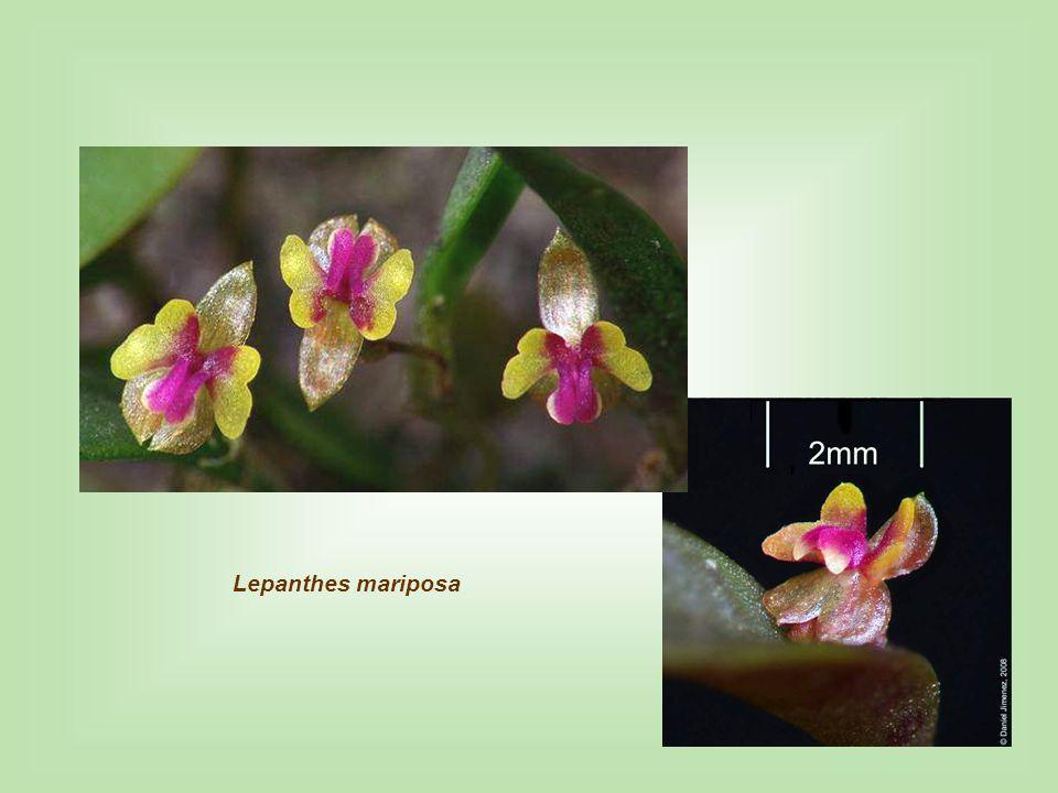 Lepanthes mariposa