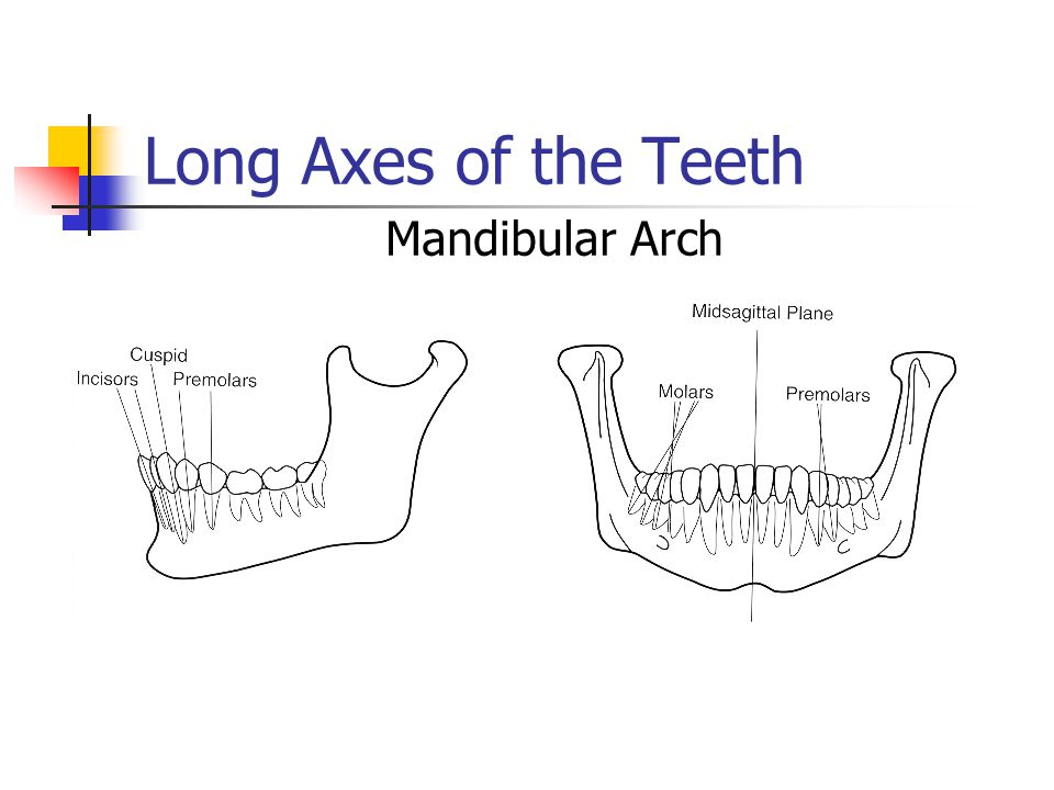 Long Axes of the Teeth Mandibular Arch