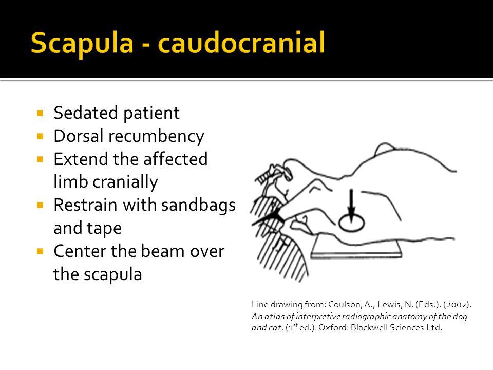 Scapula - caudocranial