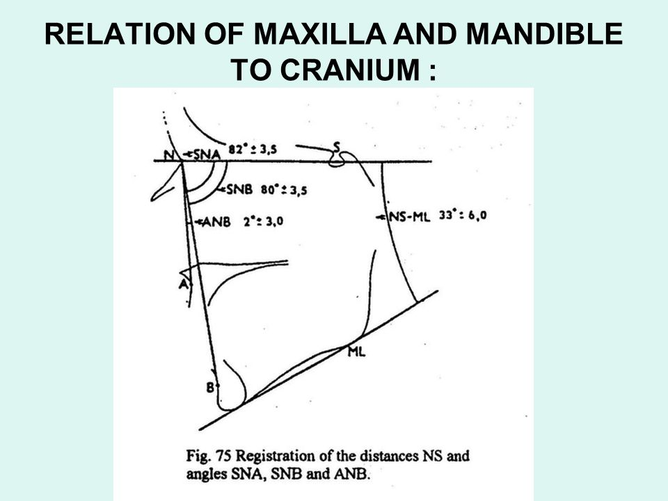 RELATION OF MAXILLA AND MANDIBLE TO CRANIUM :