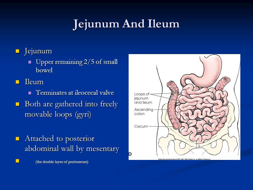 Jejunum And Ileum Jejunum Ileum