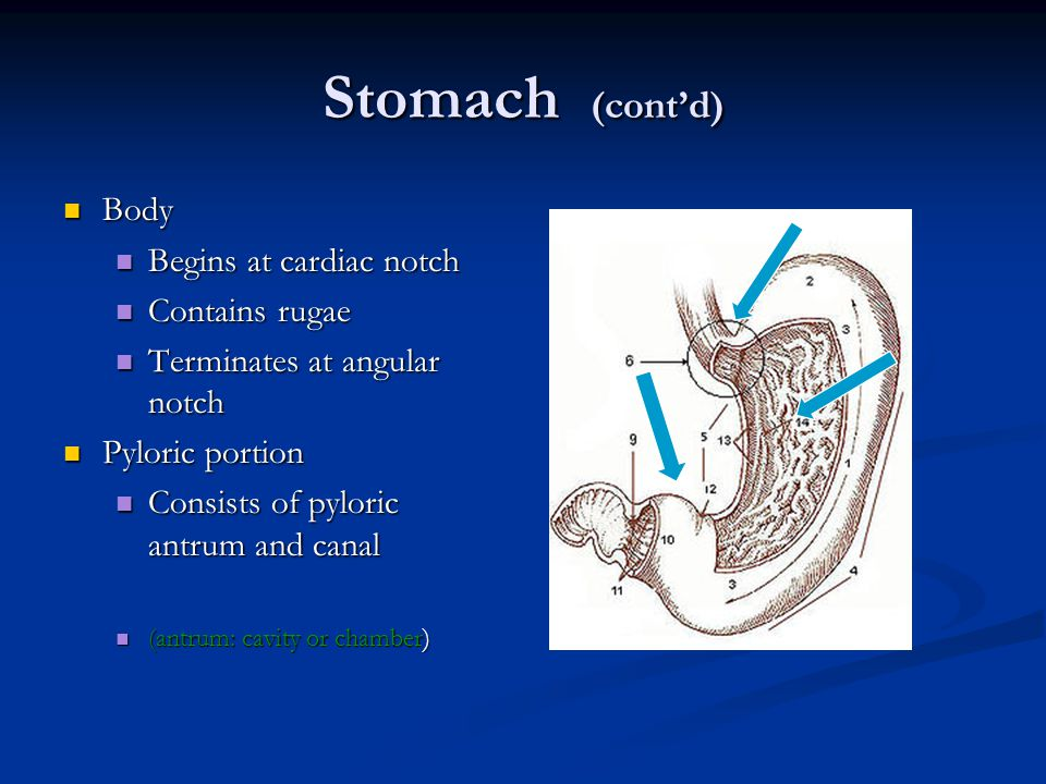 Stomach (cont'd) Body Begins at cardiac notch Contains rugae