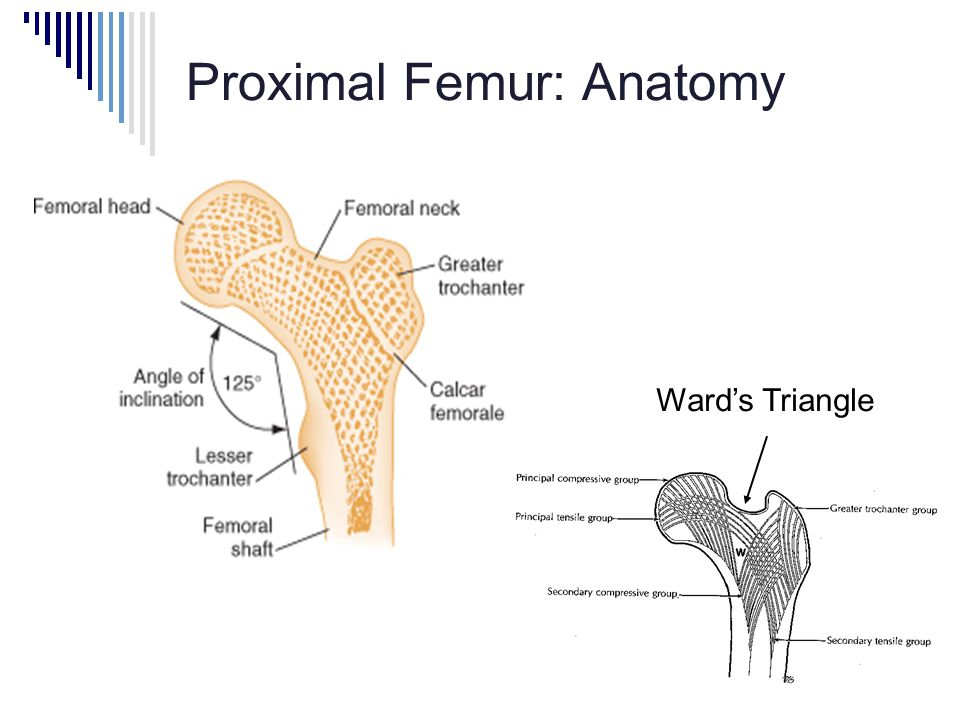 Proximal Femur: Anatomy