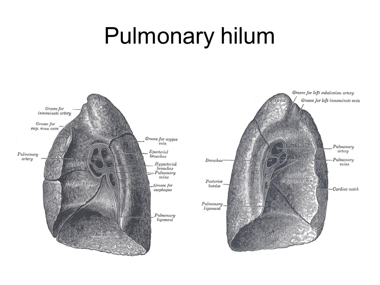 Pulmonary hilum