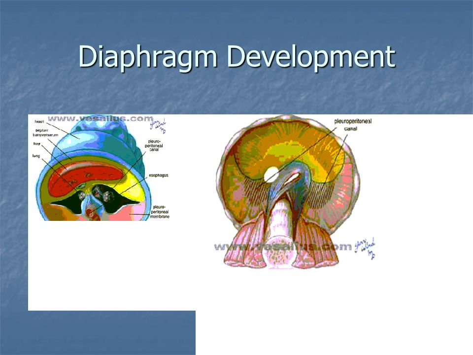 Diaphragm Development