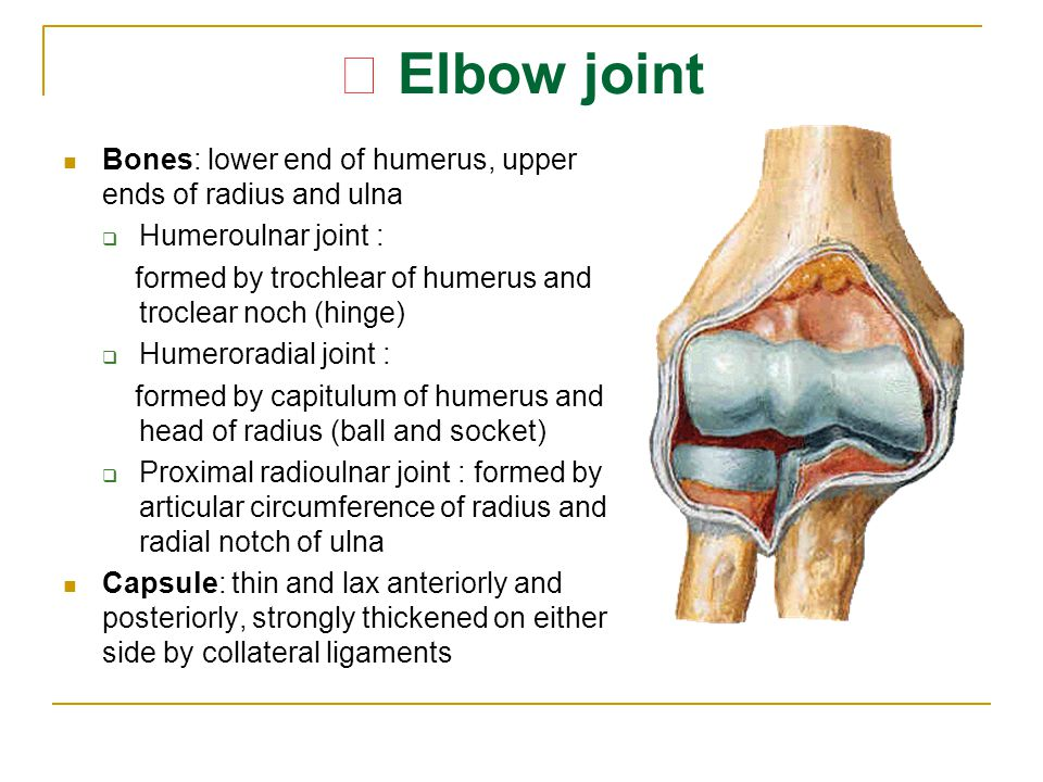 ★ Elbow joint Bones: lower end of humerus, upper ends of radius and ulna. Humeroulnar joint :