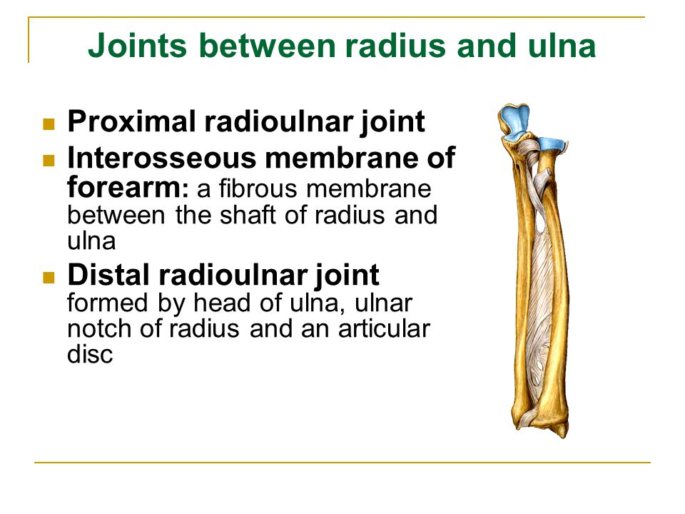 Joints between radius and ulna