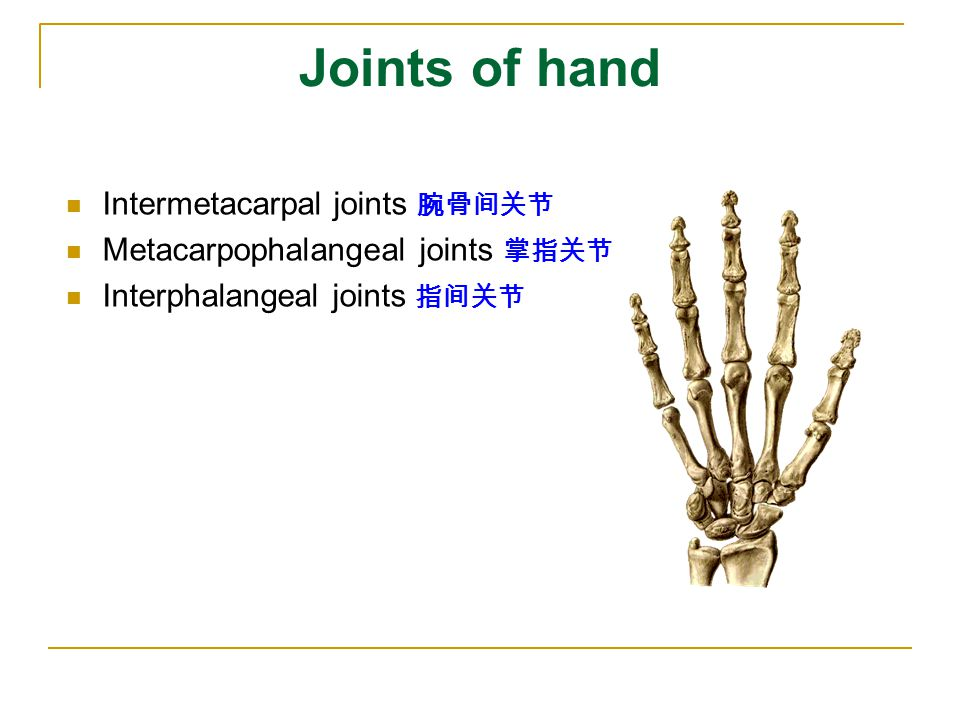 Joints of hand Intermetacarpal joints 腕骨间关节
