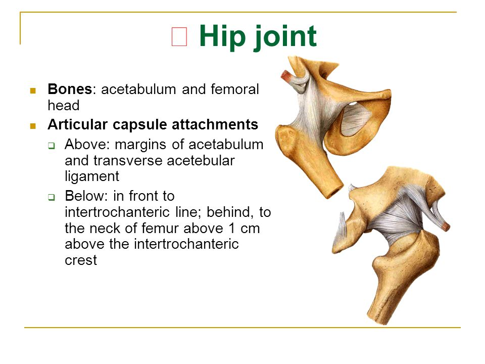★ Hip joint Bones: acetabulum and femoral head