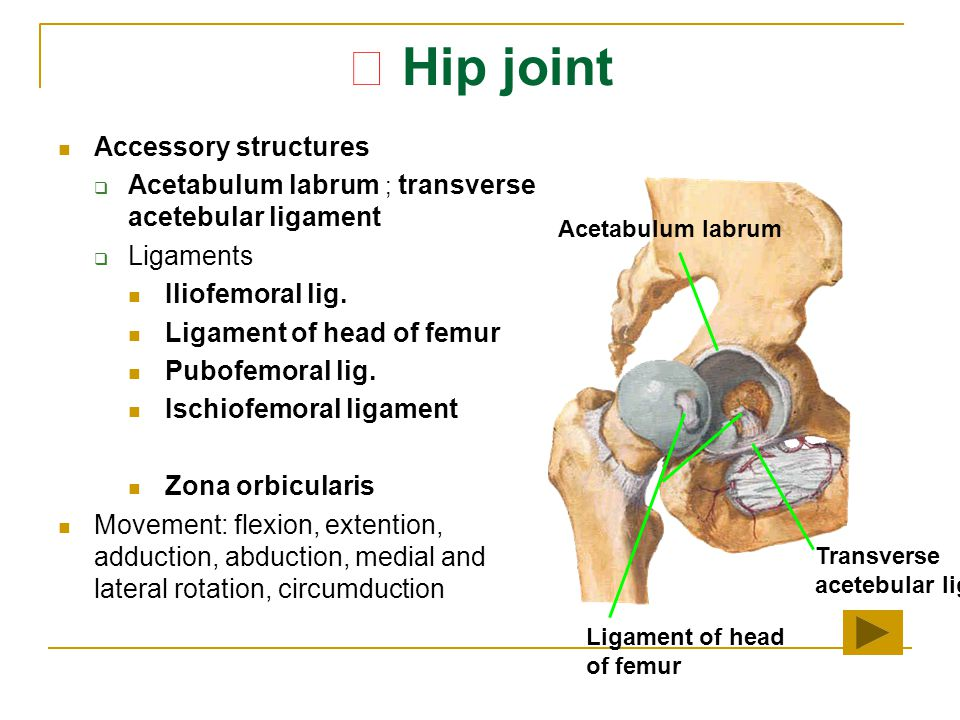 ★ Hip joint Accessory structures