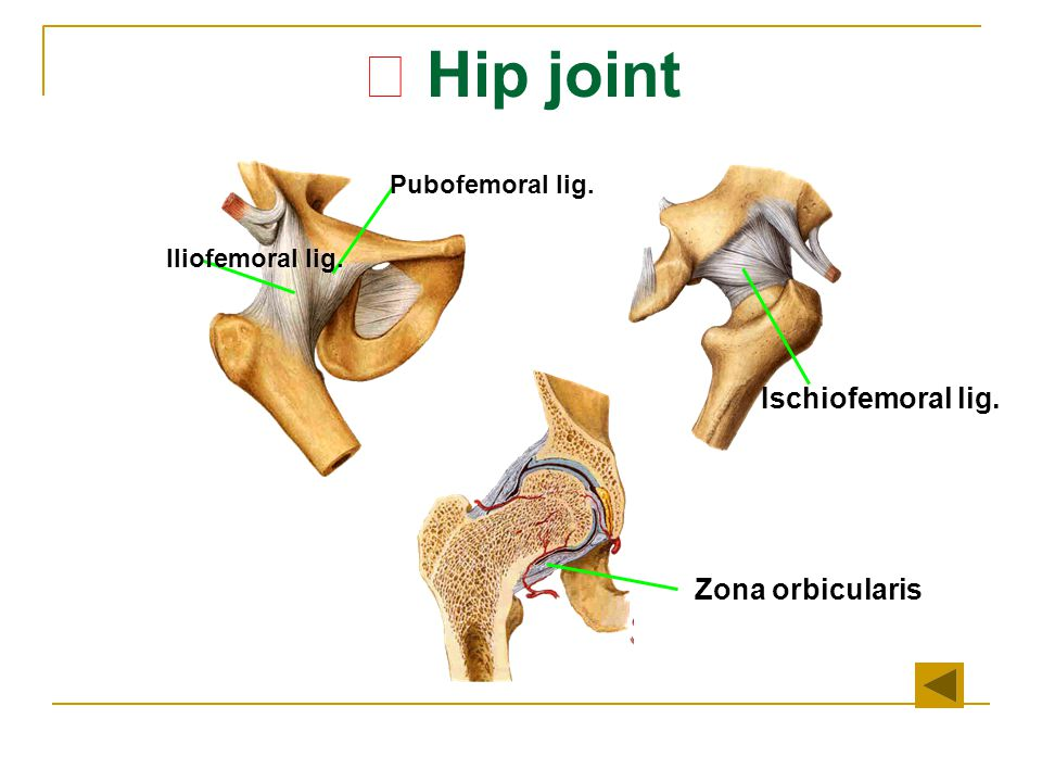 ★ Hip joint Ischiofemoral lig. Zona orbicularis Pubofemoral lig.