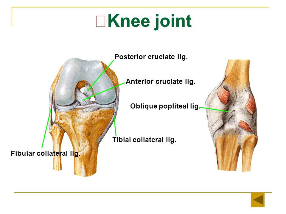 ★Knee joint Posterior cruciate lig. Anterior cruciate lig.