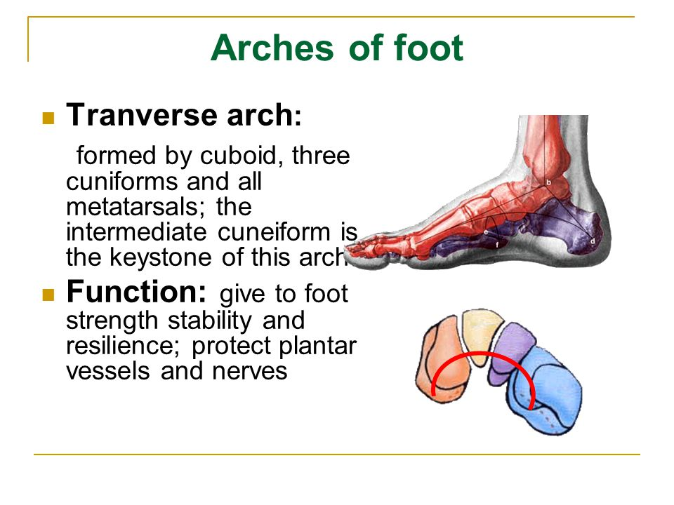 Arches of foot Tranverse arch: