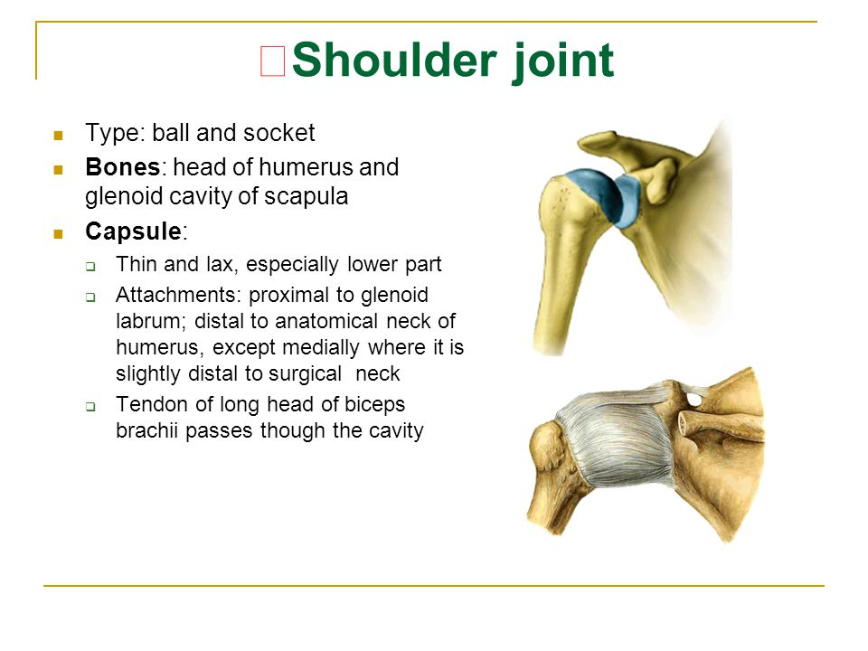 ★Shoulder joint Type: ball and socket