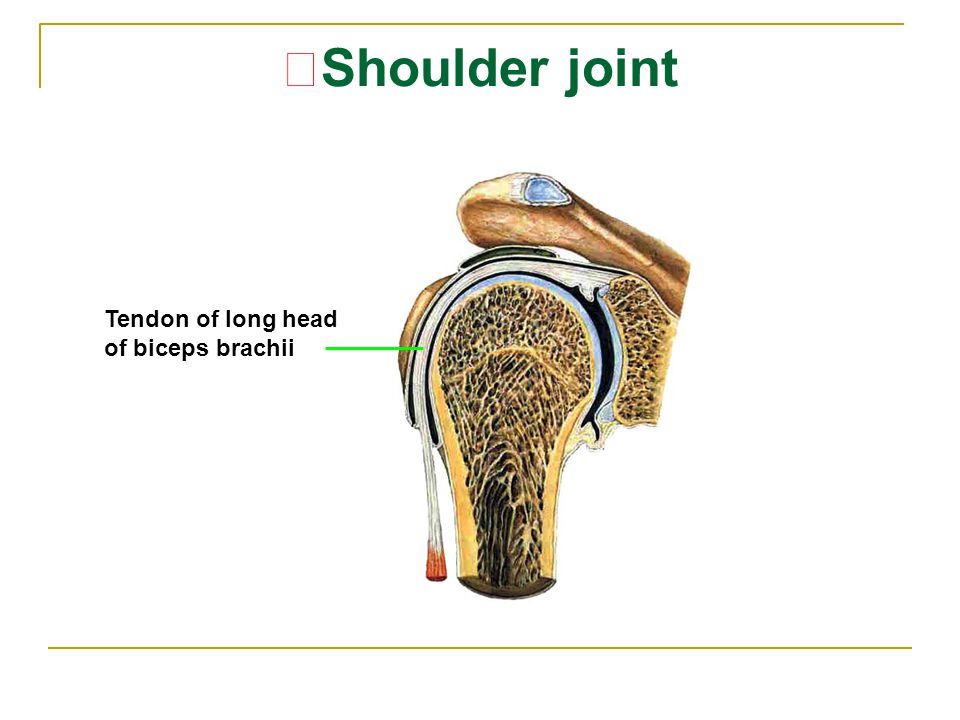 ★Shoulder joint Tendon of long head of biceps brachii