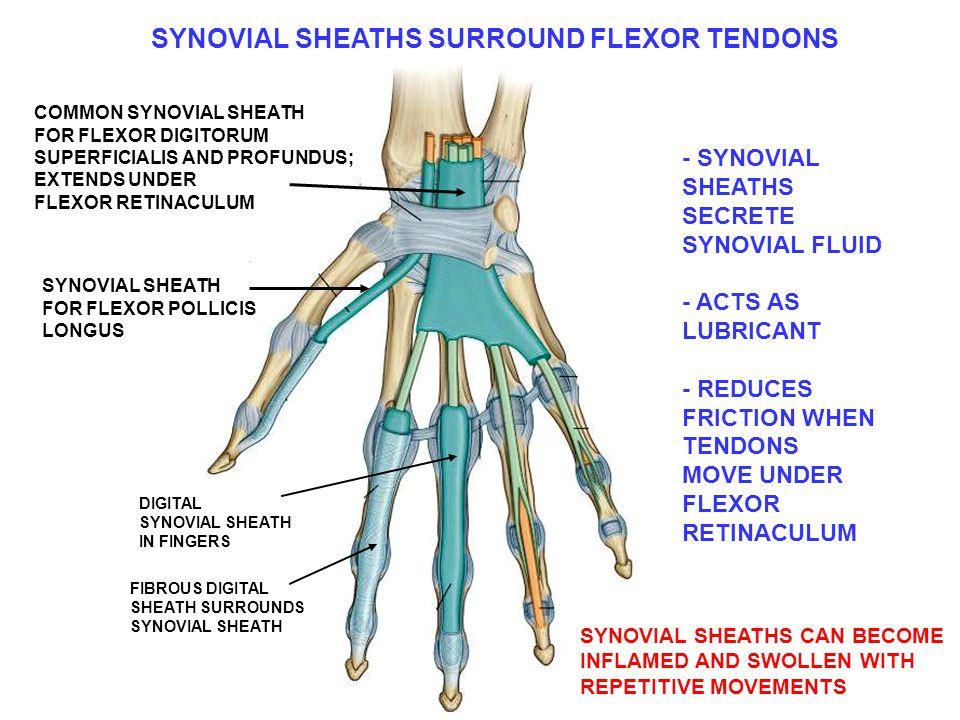 SYNOVIAL SHEATHS SURROUND FLEXOR TENDONS