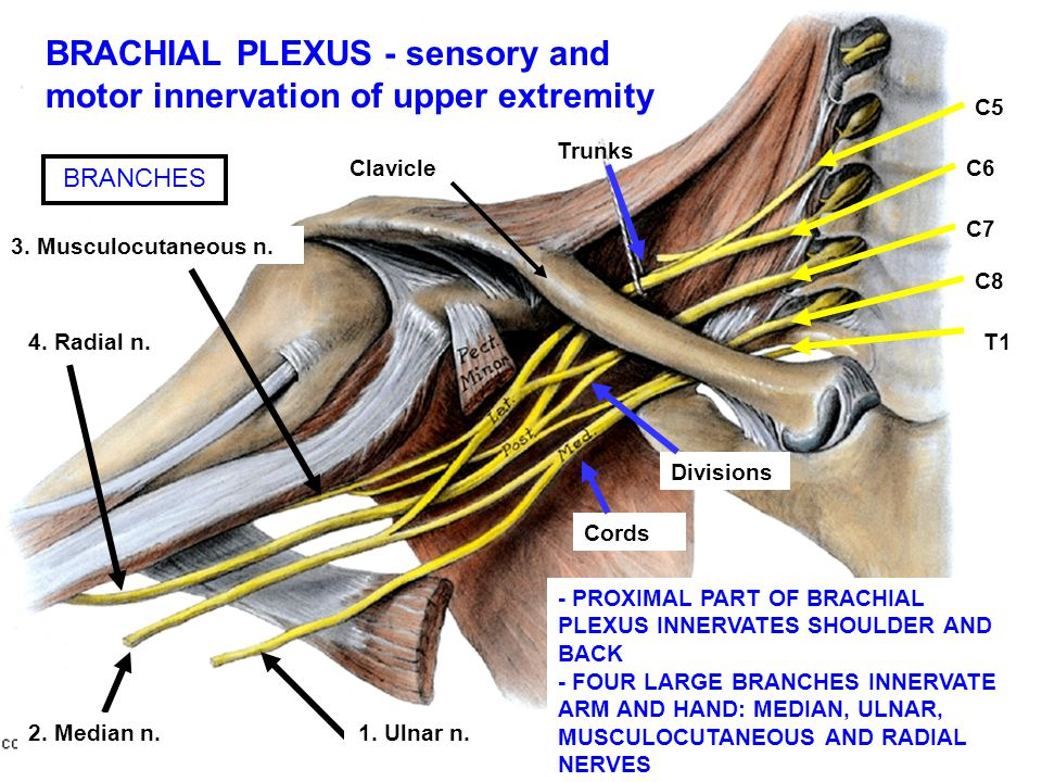 BRACHIAL PLEXUS - sensory and motor innervation of upper extremity