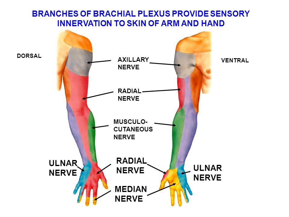 BRANCHES OF BRACHIAL PLEXUS PROVIDE SENSORY INNERVATION TO SKIN OF ARM AND HAND