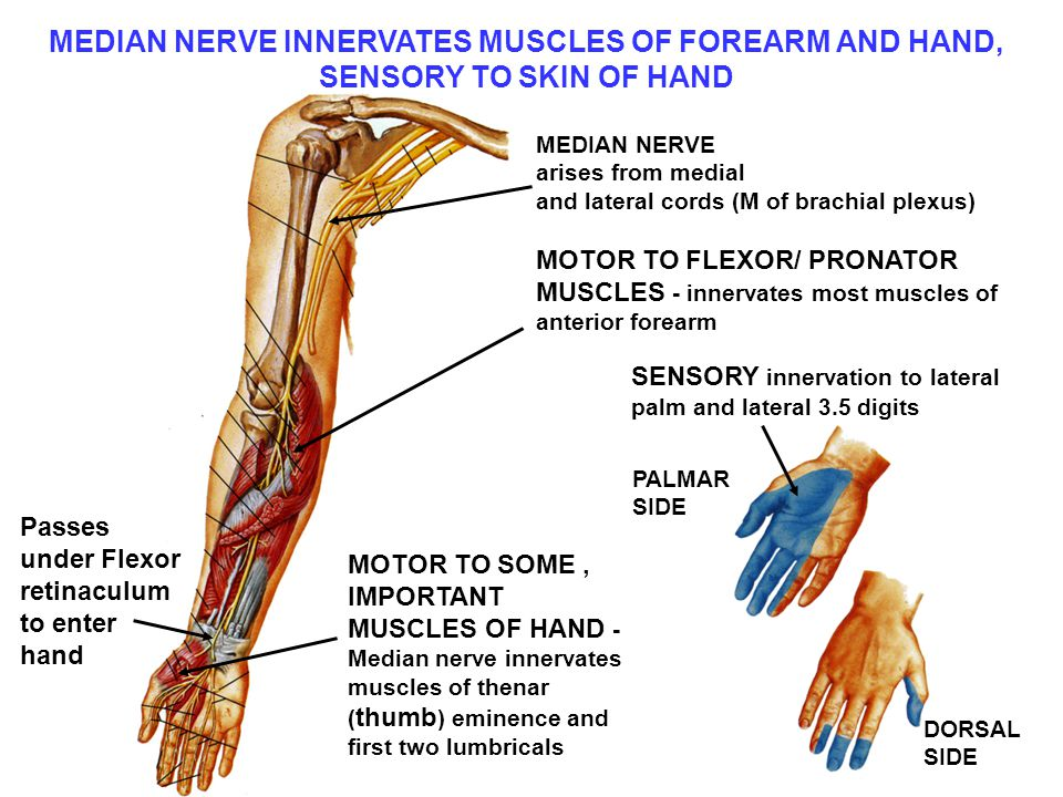 MEDIAN NERVE INNERVATES MUSCLES OF FOREARM AND HAND,