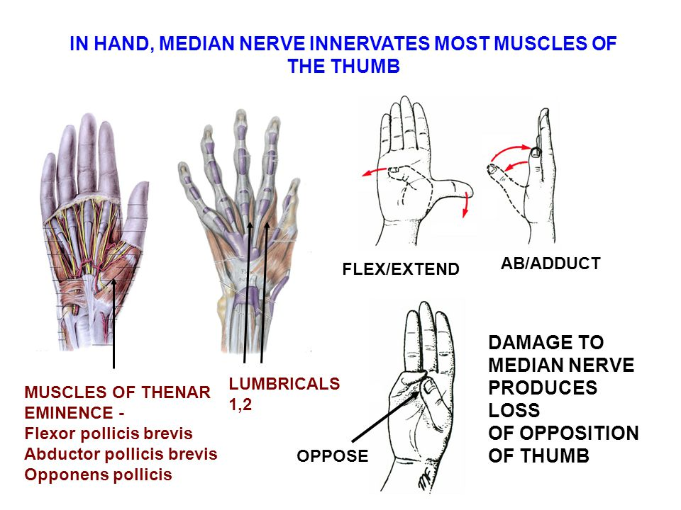 IN HAND, MEDIAN NERVE INNERVATES MOST MUSCLES OF THE THUMB