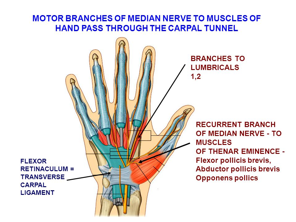 MOTOR BRANCHES OF MEDIAN NERVE TO MUSCLES OF HAND PASS THROUGH THE CARPAL TUNNEL