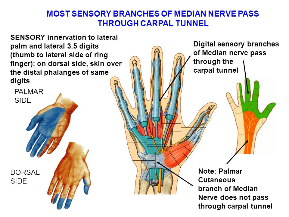 MOST SENSORY BRANCHES OF MEDIAN NERVE PASS THROUGH CARPAL TUNNEL
