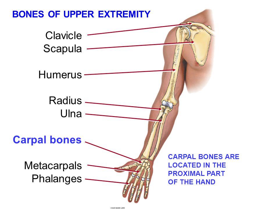BONES OF UPPER EXTREMITY