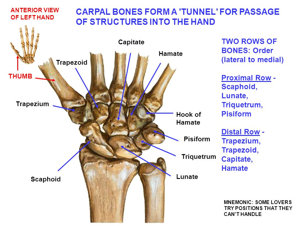 CARPAL BONES FORM A TUNNEL FOR PASSAGE OF STRUCTURES INTO THE HAND