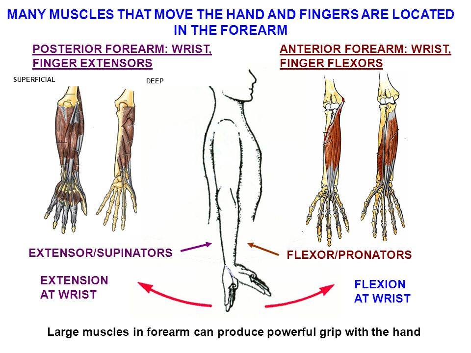 MANY MUSCLES THAT MOVE THE HAND AND FINGERS ARE LOCATED IN THE FOREARM