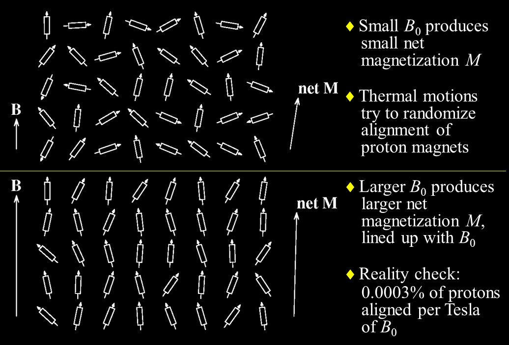 Small B0 produces small net. magnetization M. Thermal motions. try to randomize. alignment of. proton magnets.