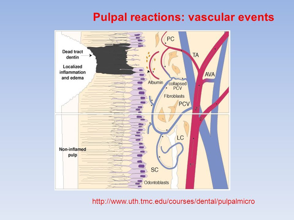 Pulpal reactions: vascular events