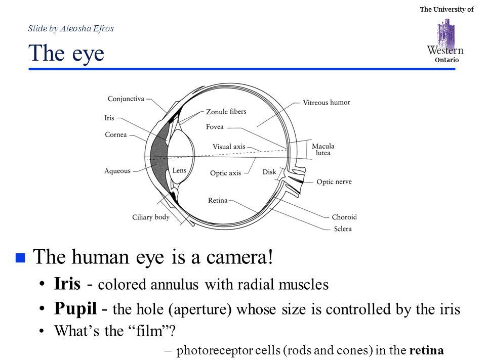 Slide by Aleosha Efros The eye