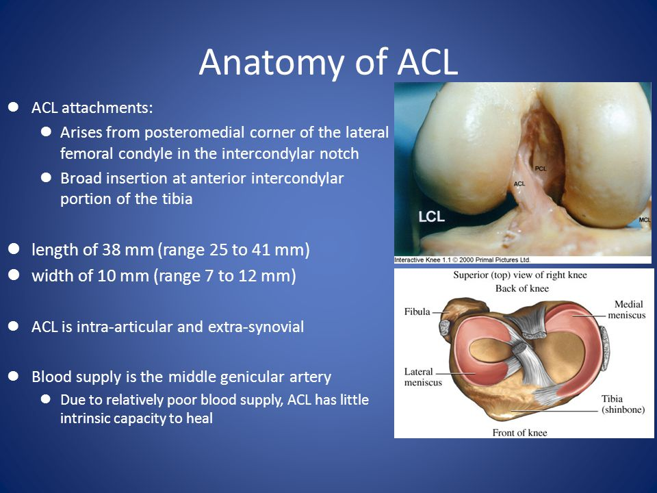 Anatomy of ACL length of 38 mm (range 25 to 41 mm)