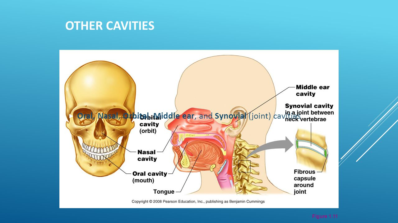 Other Cavities Oral, Nasal, Orbital, Middle ear, and Synovial (joint) cavities Figure 1.11