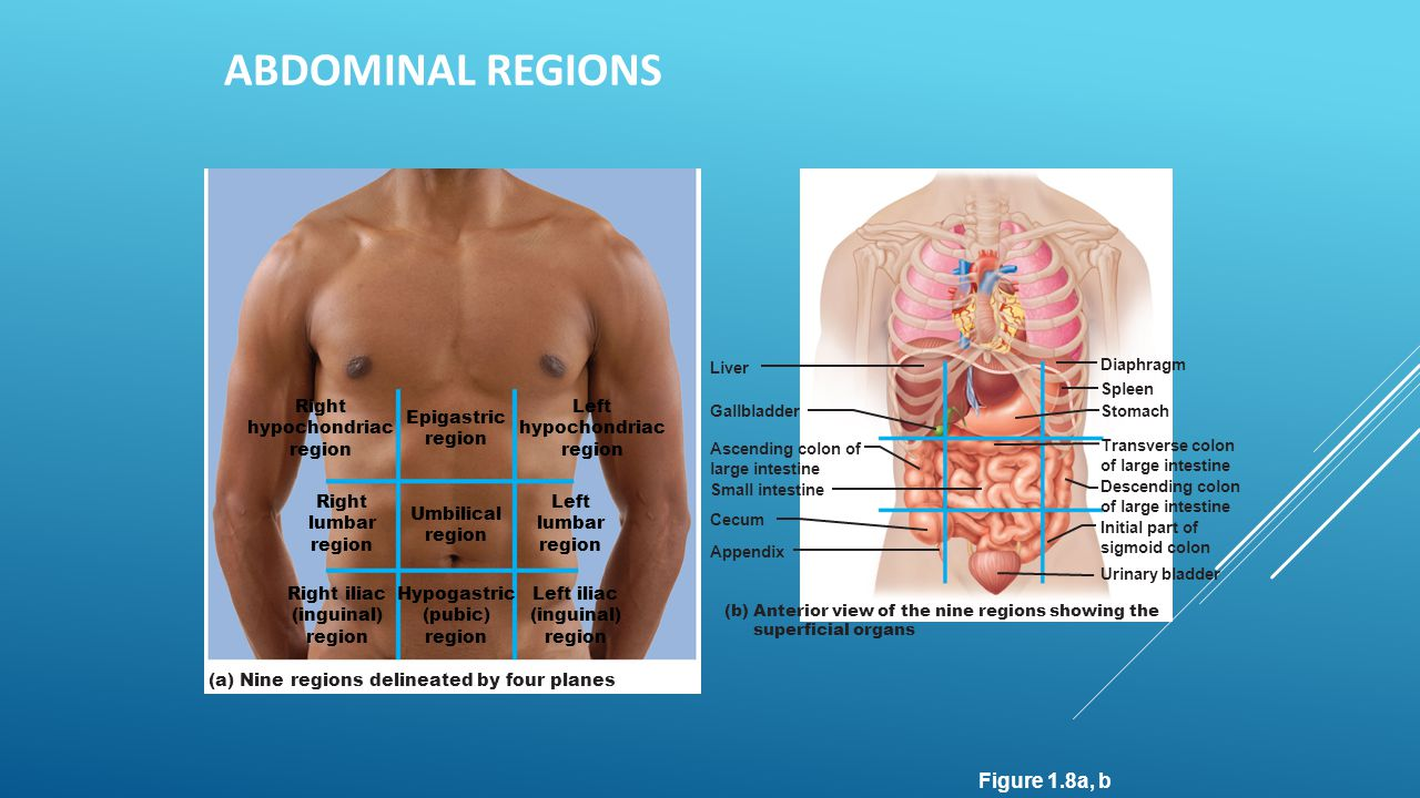 Abdominal Regions Figure 1.8a, b Epigastric region Umbilical Right