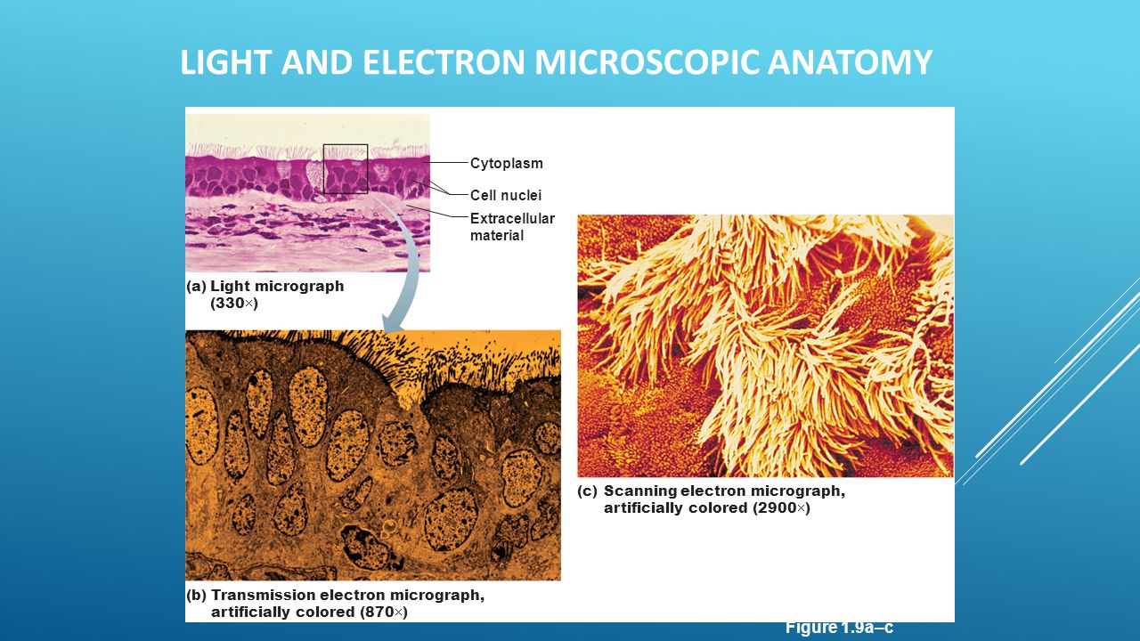 Light and Electron Microscopic Anatomy
