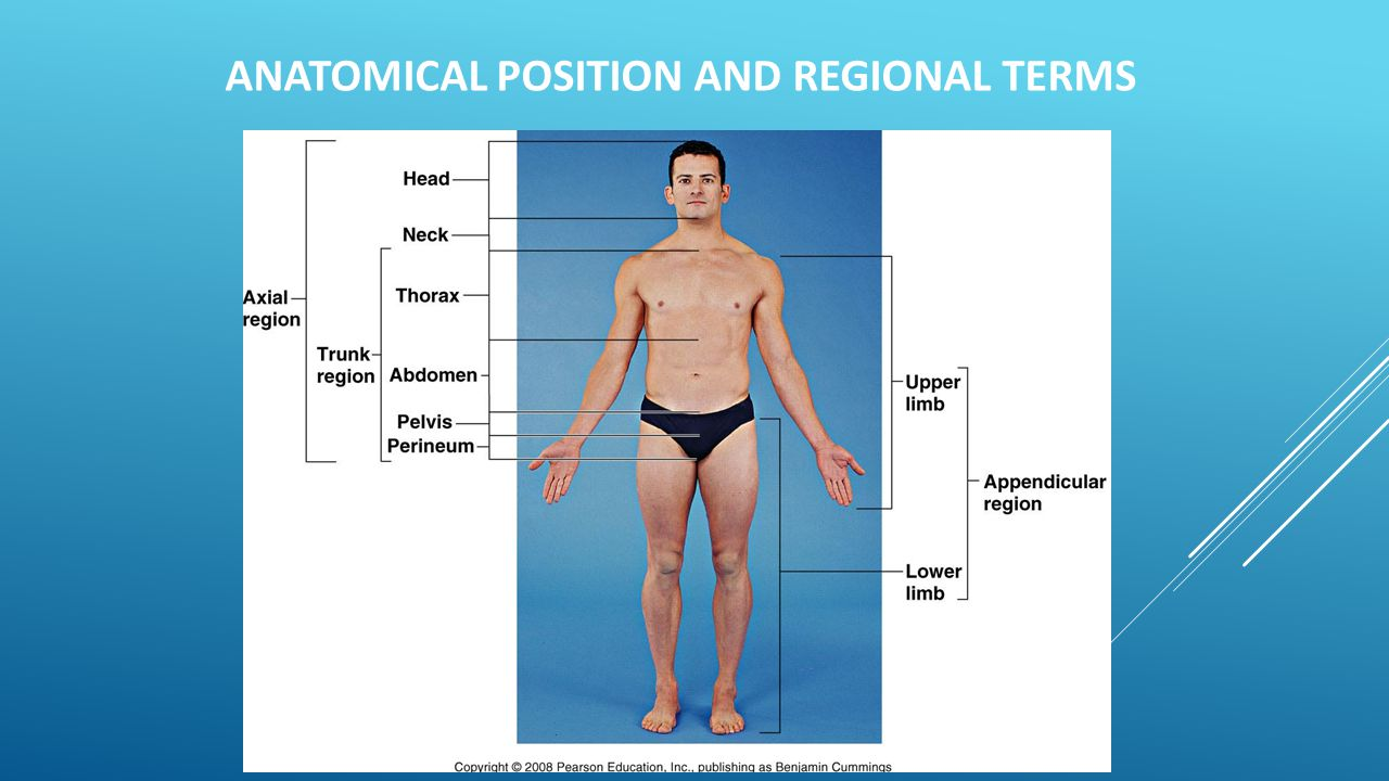 Anatomical Position and Regional Terms