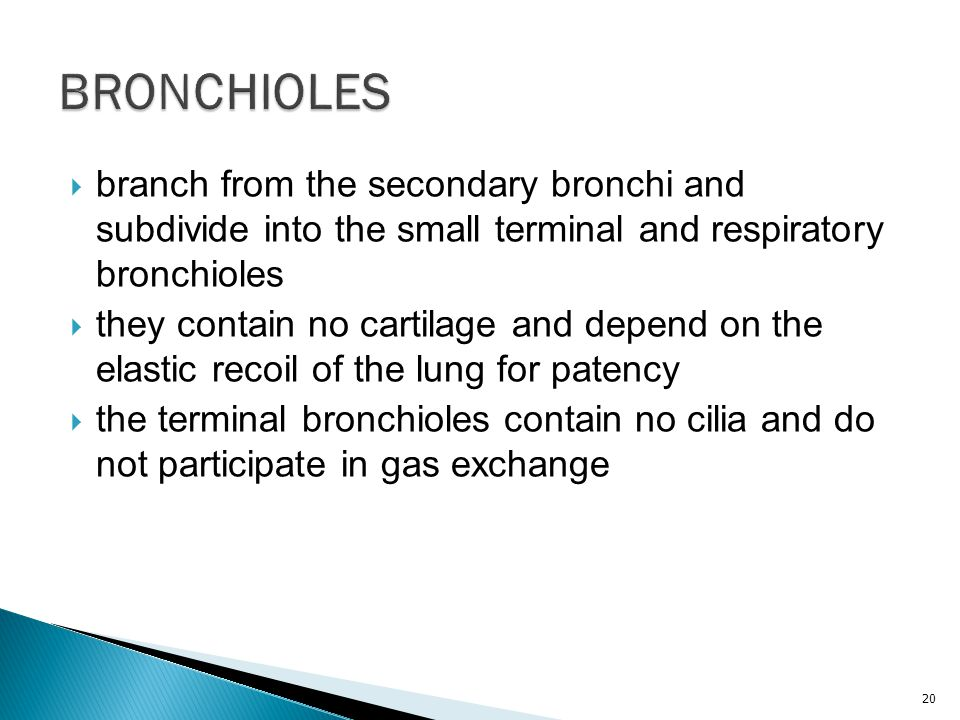BRONCHIOLES branch from the secondary bronchi and subdivide into the small terminal and respiratory bronchioles.