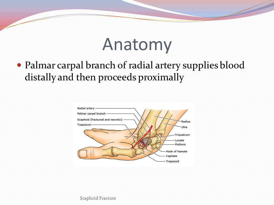 Anatomy Palmar carpal branch of radial artery supplies blood distally and then proceeds proximally.