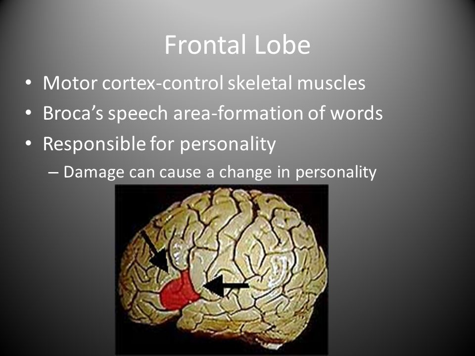 Frontal Lobe Motor cortex-control skeletal muscles