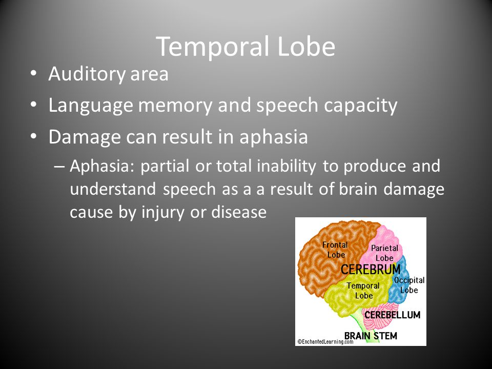 Temporal Lobe Auditory area Language memory and speech capacity