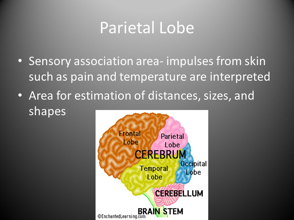 Parietal Lobe Sensory association area- impulses from skin such as pain and temperature are interpreted.